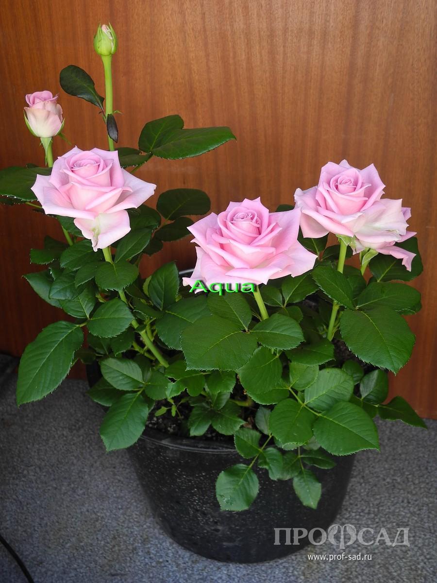 Как вырастить чайную розу в домашних условиях фото